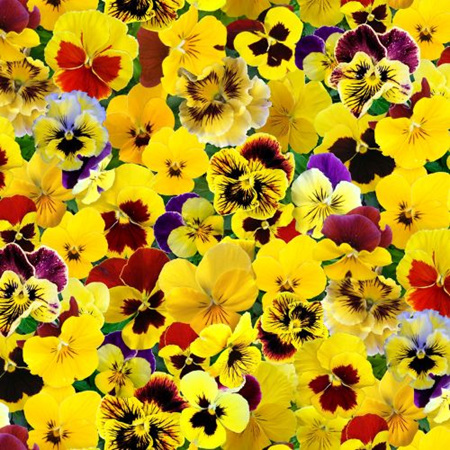 Packed Pansies Yellow 560