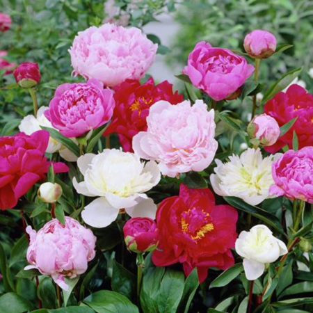 Paeony, double red