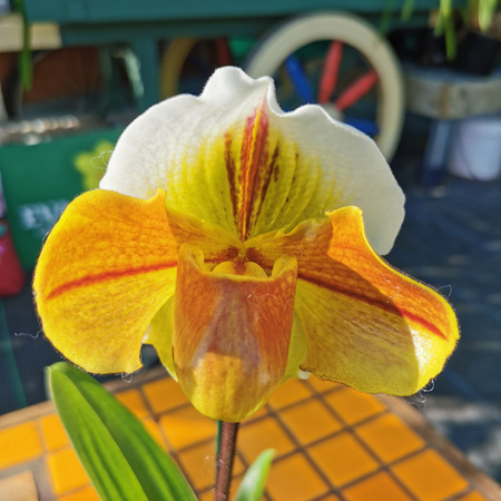 Paphiopedilum hybrids 4