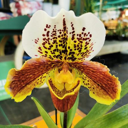 Paphiopedilum hybrids 6