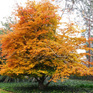 Parrotia persica Flame