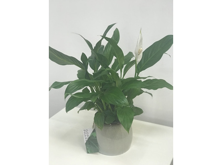 Peace Lilly In Pot