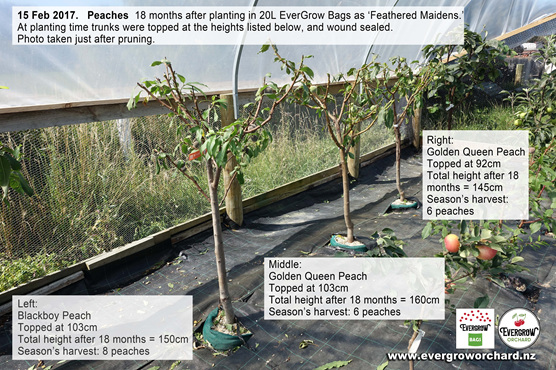 Peach trees 18 months after planting in EverGrow Bags first harvest