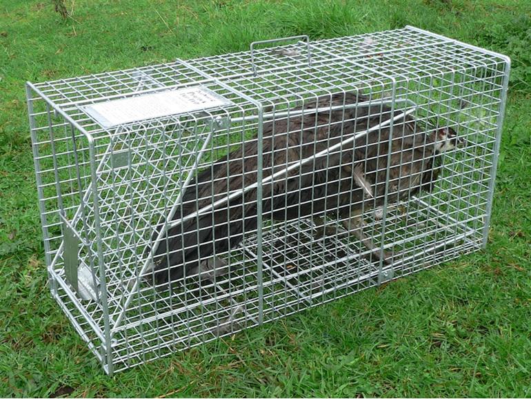 peacock cage trap