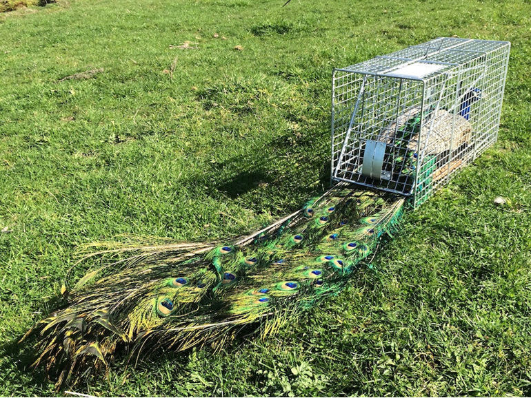 Peacock peafowl trap