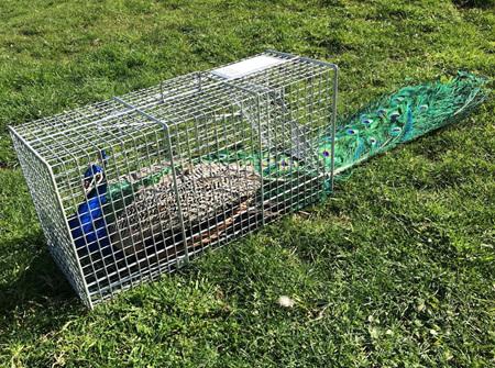 Peacock Trip Trap