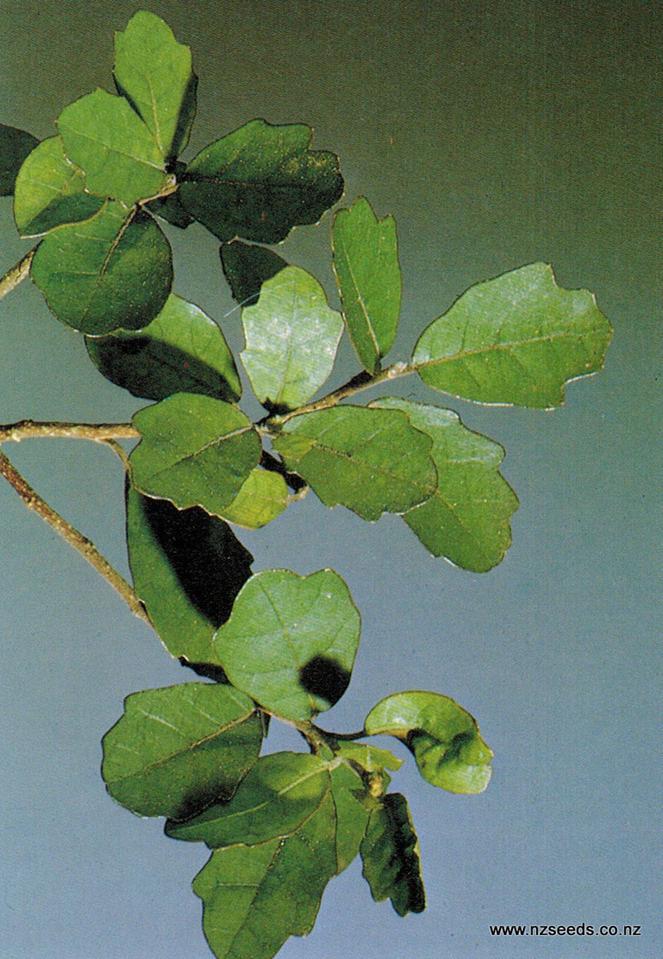 Pennantia corymbosa