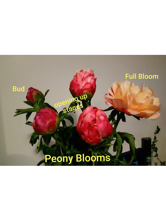 Peony blooms at different stages