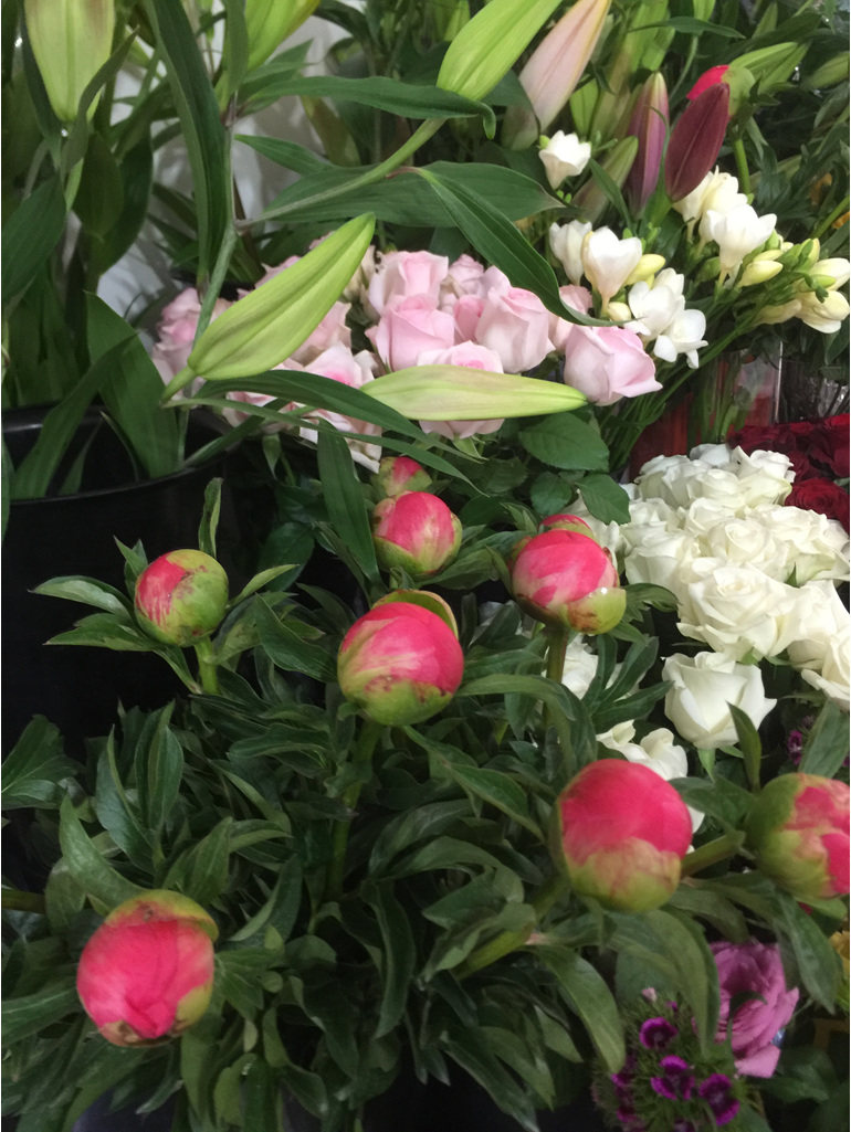 Peony in tight bud ready to burst into bloom.