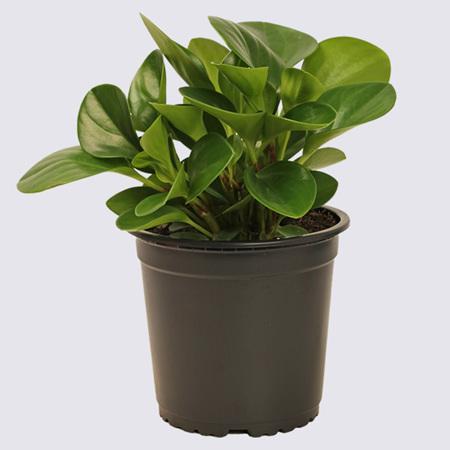 Peperomia Green (Peperomia obtusifolia) 14cm Pot Plant