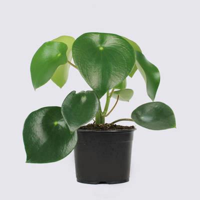 Peperomia polybotrya 14cm Pot Plant