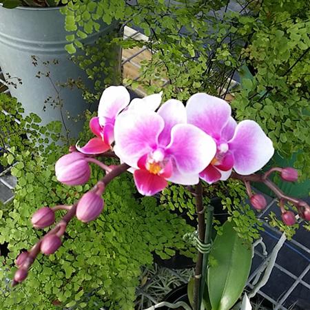 Phalaenopsis (Moth) Orchids