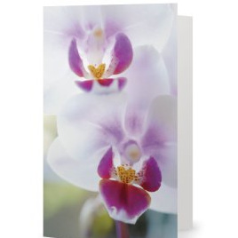Phalaenopsis orchid  card 1