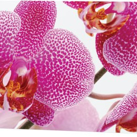 Phalaenopsis orchid  card 2