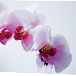 Phalaenopsis orchid  card 3
