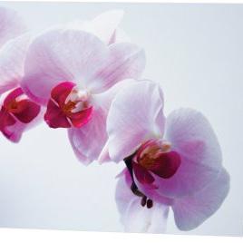 Phalaenopsis orchid  card 3