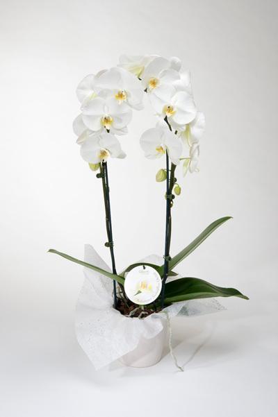 Phalaenopsis Orchid Grandiflora
