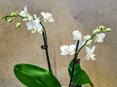 Phalaenopsis Orchid Miniature