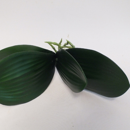 Phalaenopsis plant  greenery 4117