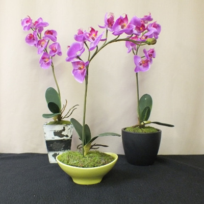 Phalaenopsis orchid purple in container
