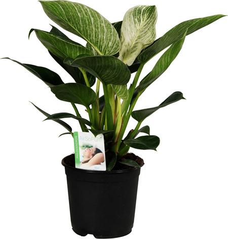 Philodendron Birkin 14cm Pot Plant