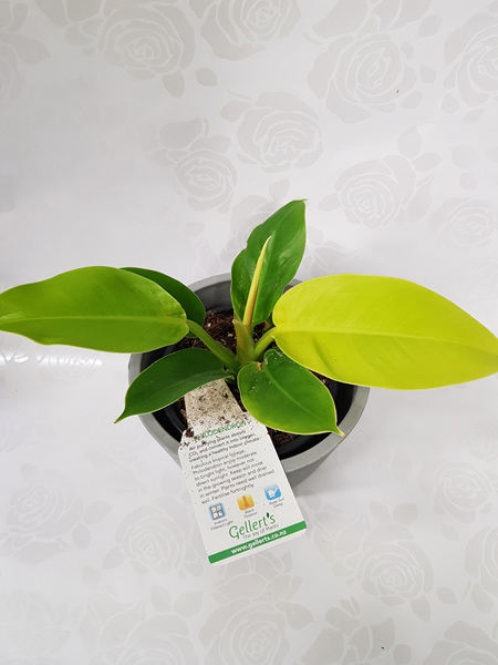 Philodendron Golden