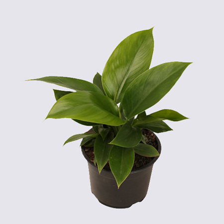 Philodendron Imperial Green 14cm Pot Plant