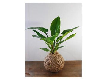 Philodendron Imperial Green Kokedama
