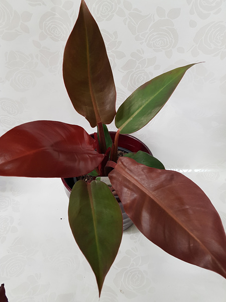 Philodendron Sun Red