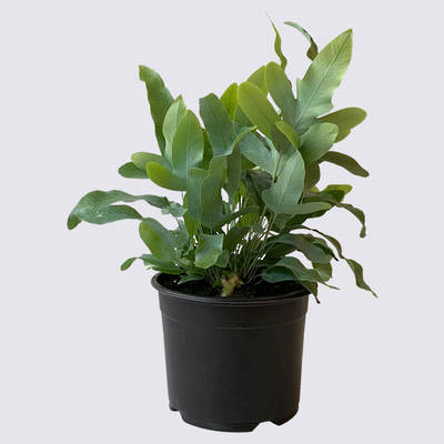 Phlebodium Blue Star Fern 14cm Pot Plant