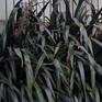 Phormium cookianum Purpurea
