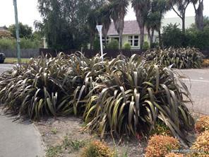Phormium cookianum purpureum