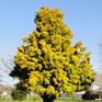 Podocarpus totara Aurea