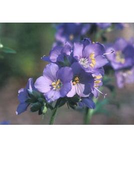 Polemonium caeruleum 'Filigree Skies'
