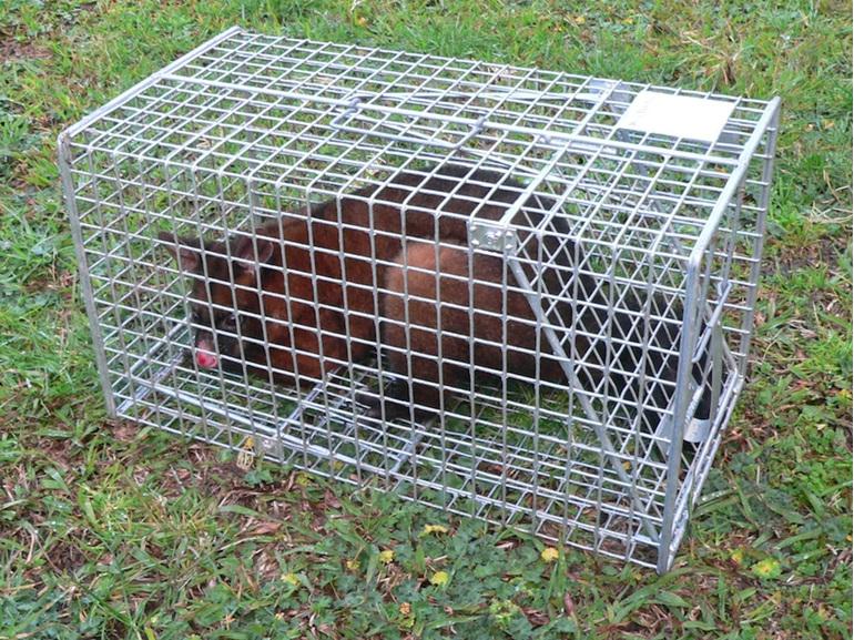 possum cage trap