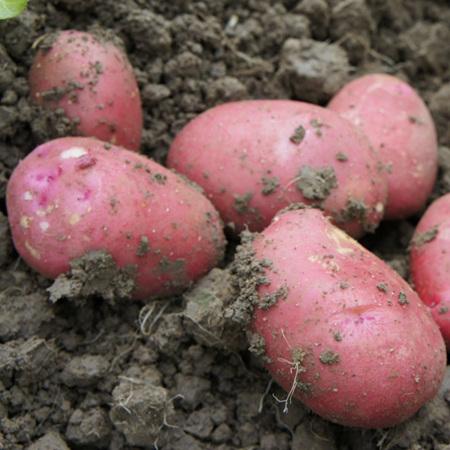 Potatoes Red Skin Certified Organic 500g