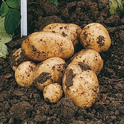 Potatoes Rocket Certified Organic 500g