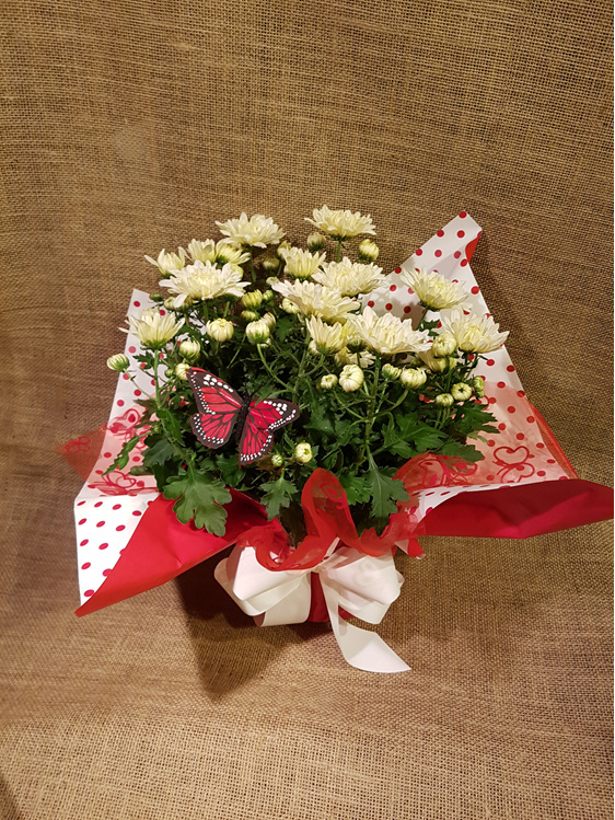 Potted chrysanthemum gift flowers wrapped