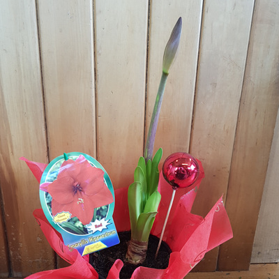 Potted Hippeastrum (red)