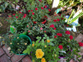 Potted Roses