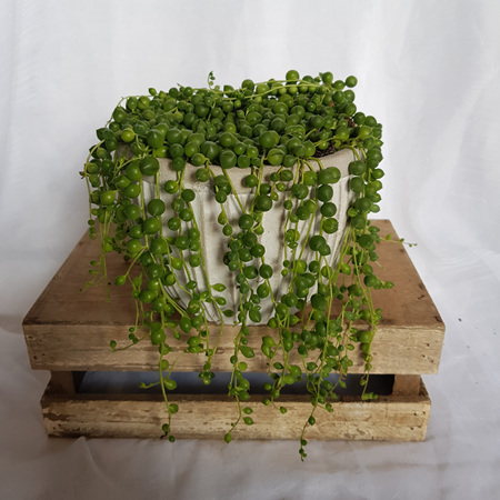 Potted string of pearls