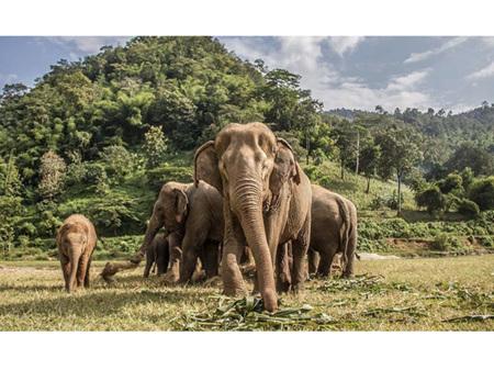 Premium Cut 1000 Piece Jigsaw Puzzle Save the Planet Thailand Elephants