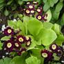 Primula x pubescens - auricula