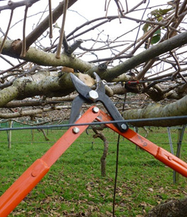 Pruning with loppers