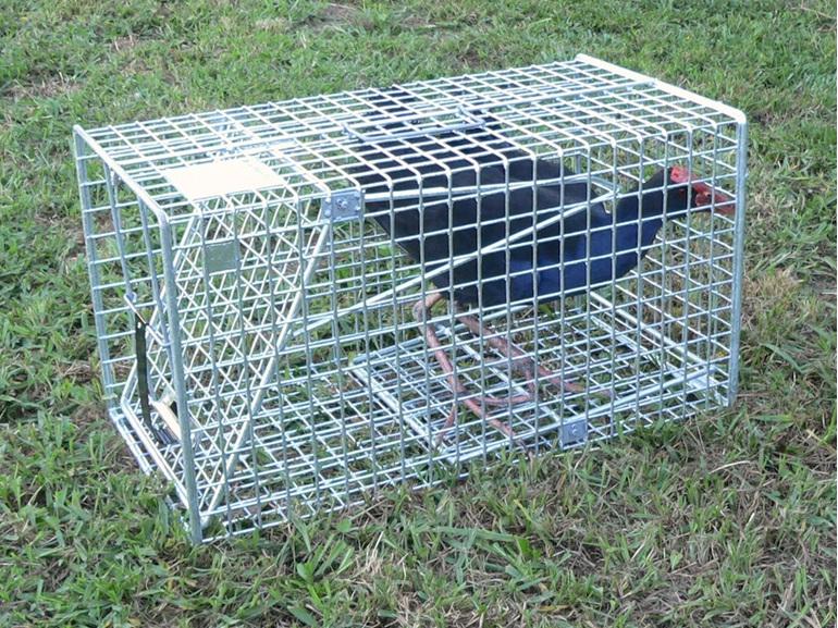 pukeko possum ferret stoat magpie rabbit cage trap