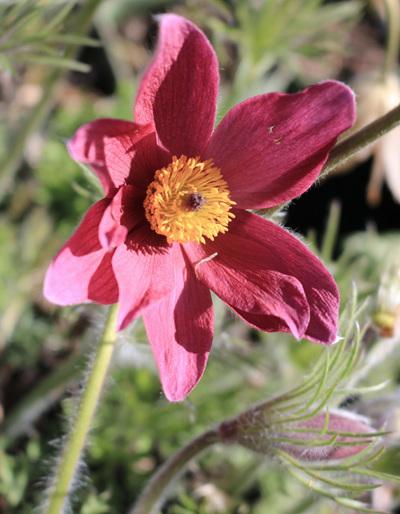 Pulsatilla vulgaris 'Red Bells'