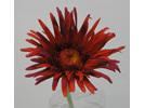 Gerbera spider petal 1444