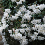 Rhododendron Fragrantissimum