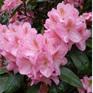 Rhododendron Scintillation