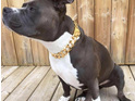 RICO Luxury Gold Dog Collar by Big Dog Chains